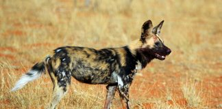 Sneeze To Vote Yes — Wild Dogs Of Africa