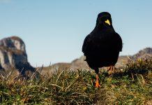 A Black Bird Presents Itself | An Example of Animal Symbolism