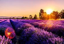 Lavender - Practical Tips With Essential Oils During Flu Season