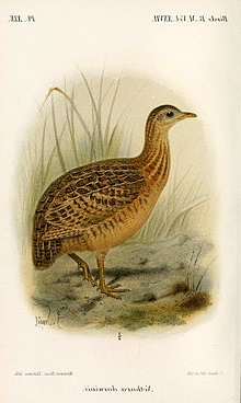 NothuraDarwiniiSmit Tinamou species.jpg