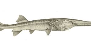 Chinese paddlefish_now extinct.png