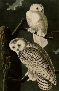Snowy Owl - Black Lion - The Lions And The Shift Plus Other Encounters