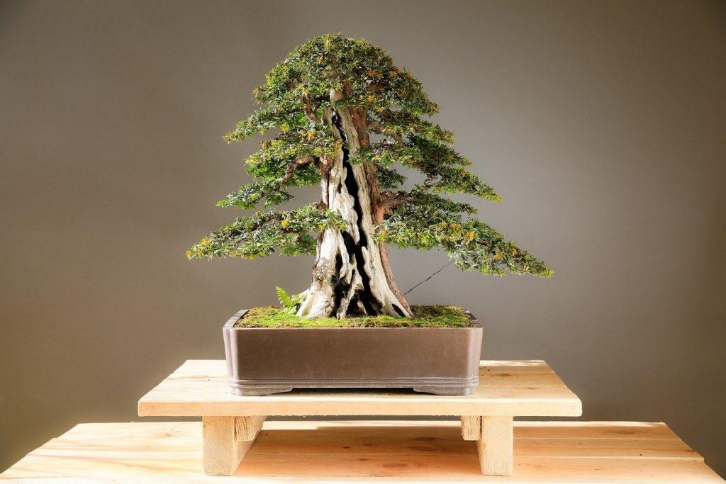 Bonsai - 5 Surprisingly Meditative Activities you can do at Home