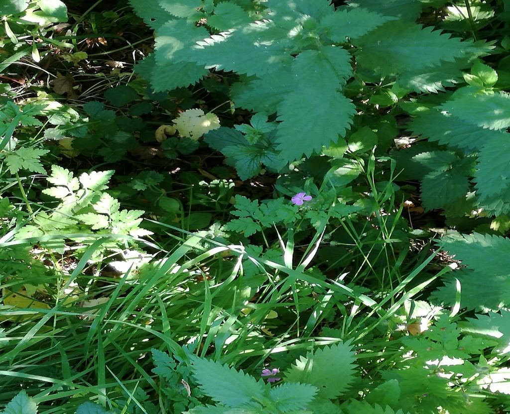 Nettle - A vision-quest and the gift of the nettle plant