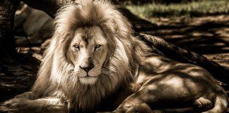 Lion - Leo partial elclipse